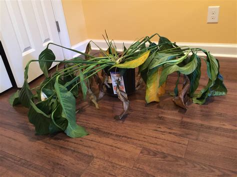 plant health can this peace lily be saved gardening houseplants resuscitate wilting peace lily gardening
