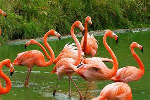 what color is a flamingo color hypertonic