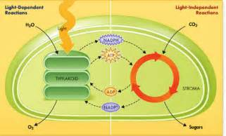 light dependent definition sulli s biology ch 8 photosynthesis