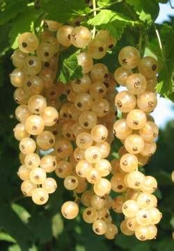 red  white currant ribes rubrum carrington rec