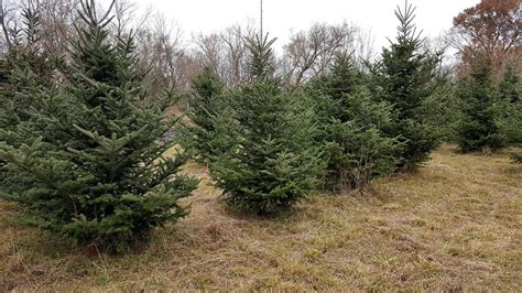 choose and cut your own tree in michigan tree farm
