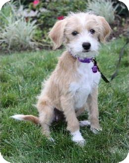 BETSY | Adopted Puppy | Newport Beach, CA | Wheaten ...