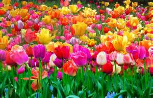 colorful flower beautiful tulips and colorful flower garden relaxing