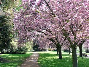 the many types of cherry trees retire to the farm