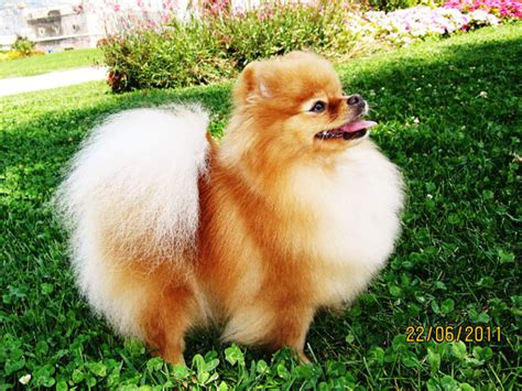 boo the pomeranian owner boo pomeranian owner memes