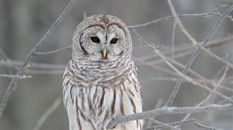 black and white owl wallpaper white owl wallpaper birds animals 71 wallpapers