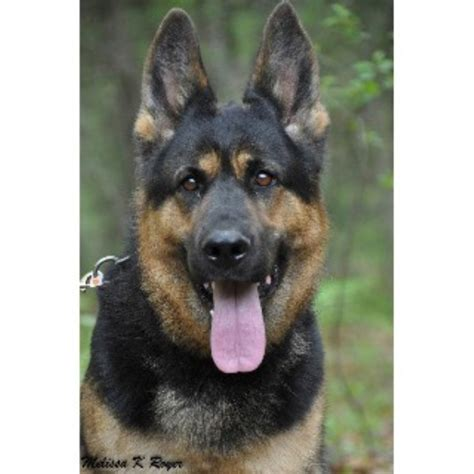 german shepherd puppies for sale in iowa german shepherd gsd alsatian breeders in iowa freedoglistings