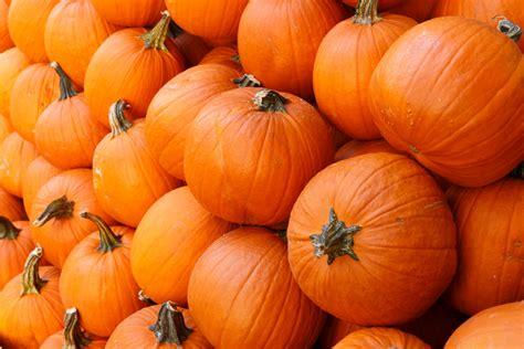 pumpkin background orange pumpkins background free stock photo