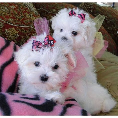 baby puppies for adoption baby and maltese on