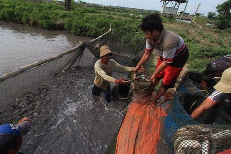 Suplemen Ikan Lele Panduan Budidaya Ikan Lele Mulai Awal Hingga Panen