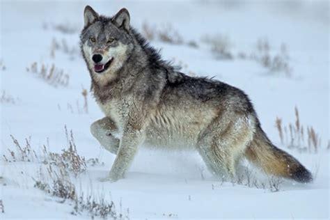 imagenes de animales lobos el lobo caracter 237 sticas qu 233 come reproducci 243 n y