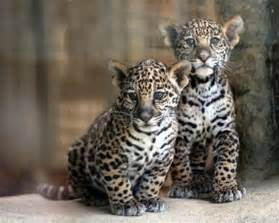 Jaguars Babies Baby Jaguars Just A Pic I Thought Was