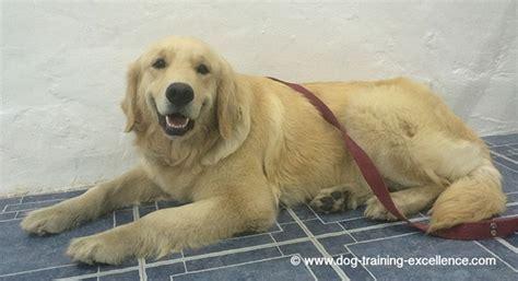 golden retriever training guide