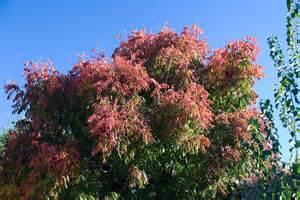 pepper tree flickr photo sharing