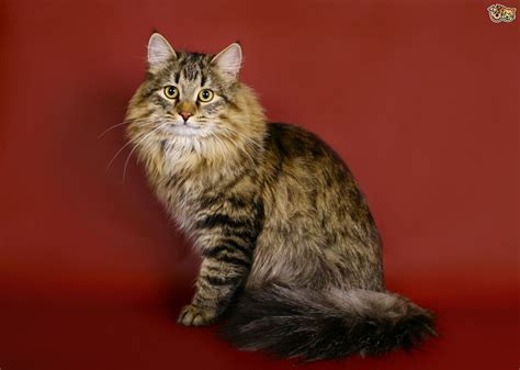 domestic breeds large domestic cat breeds big cat breeds models picture