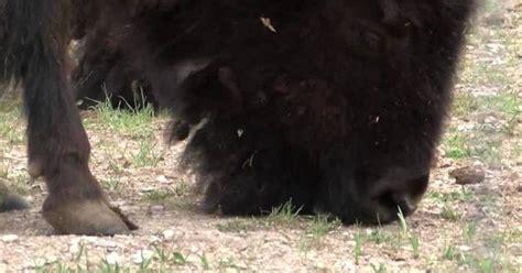 bison calf born  colorado lab  conservation  dead