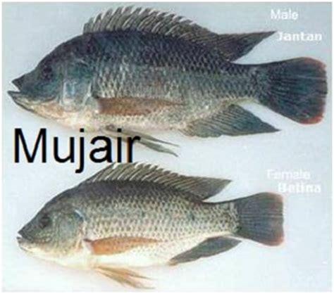Bibit Mujair induk ikan mujair jantan dan betina penyedia bibit ikan