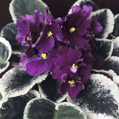 share  love  african violets greenview fertilizer
