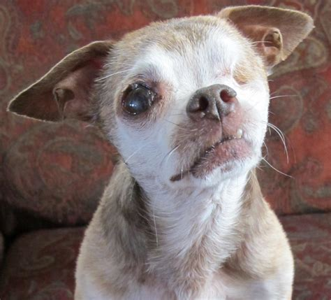 colorado puppy mill rescue harley puppy mill survivor