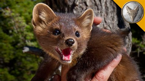 what does martin the pine marten is nature s most adorable assassin