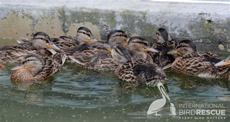 patients of the week mallard ducklings humanitarian news