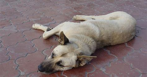 sundowners in dogs sundowning symptoms in dogs ehow uk