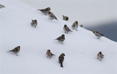 common redpolls invade central pennsylvania by alex