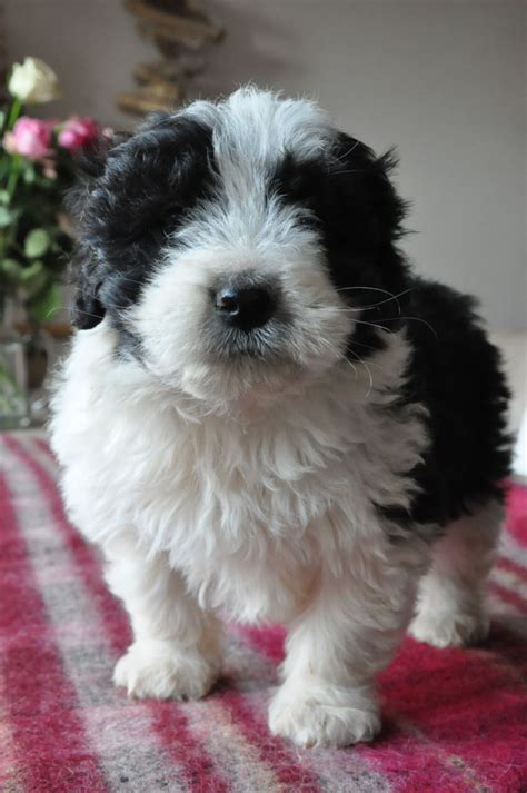 bearded collie puppies for sale bearded collie pups