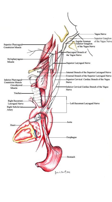 nerve damage after c section 17 best images about anatomy on pinterest paranasal