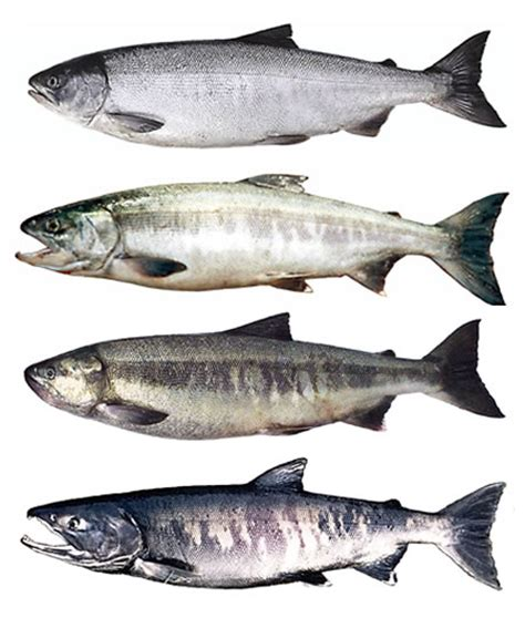 what color are fish chum salmon fishing
