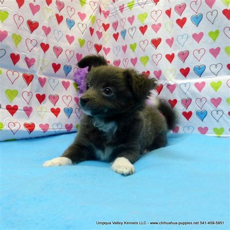 puppies for sale oregon 1000 ideas about chihuahua breeders on baby