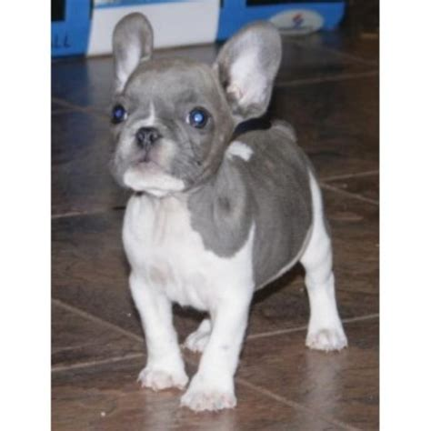 bulldog puppies for sale in knoxville tn bestfrenchbulldogpuppies bulldog breeder in knoxville tennessee