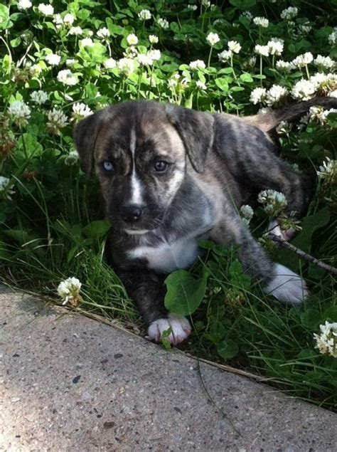 husky pitbull puppies husky puppies dallas tx siberian husky puppies indiana husky puppies breeds picture