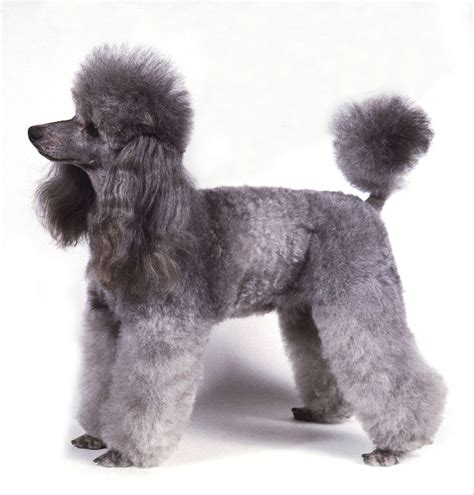 pictures of poodle puppies poodle pets animals wiki pictures stories