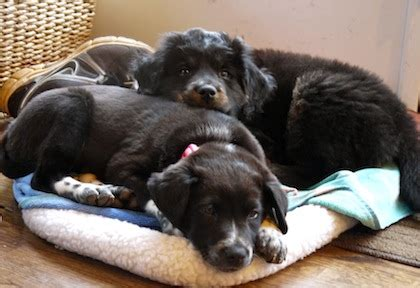 pros and cons of getting two puppies pros cons of raising two puppies together how to it all