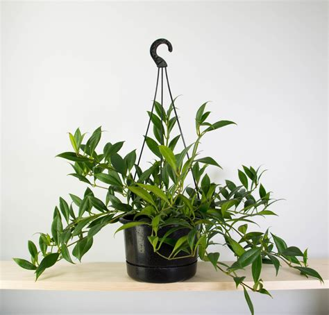 Planter Plants by Lipstick Plant In White Hanging Planter Plant And Pot Nz