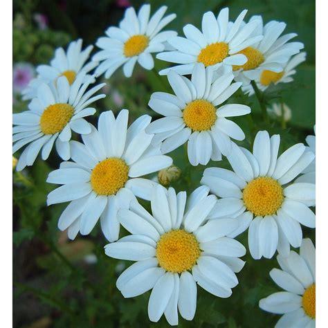 chrysanthemum paludosum snow daisy gardenpost
