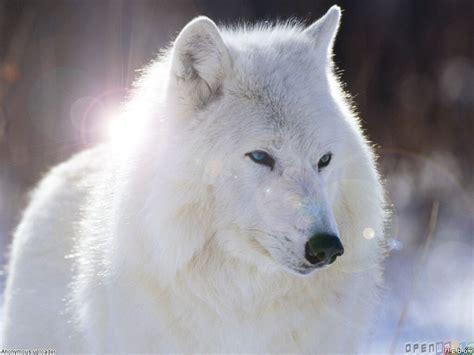 imagenes de jaguar blanco white wolf wallpaper 480 open walls