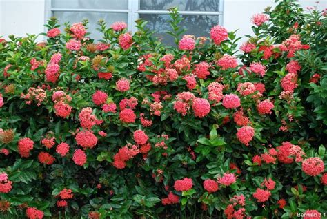 flowering shrubs for florida the in ixorable march of progress benweb 3 2
