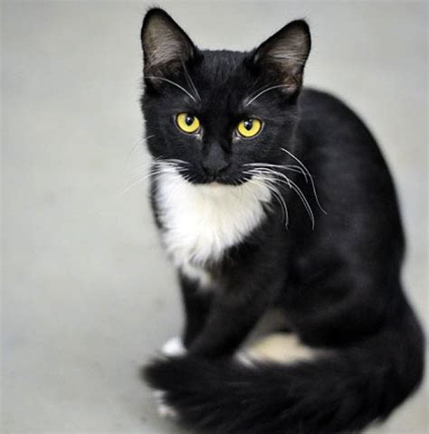 36 tuxedo cats dropped off at marin humane society with