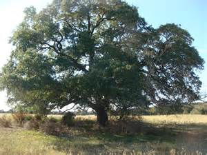 Live Oak Speaking From The Ranch Mighty Live Oak Trees