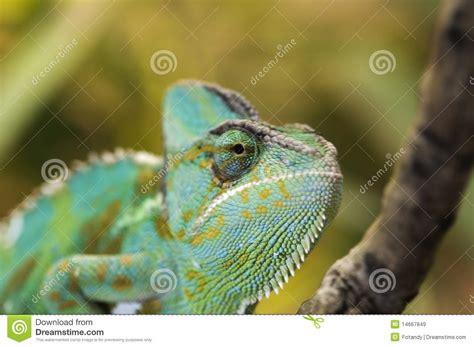 Chameleon Headl of yemen chameleon royalty free stock images image 14667849