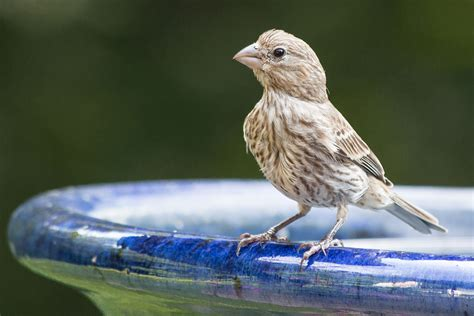 what do house finches eat file house finch stratham nh jpg wikipedia