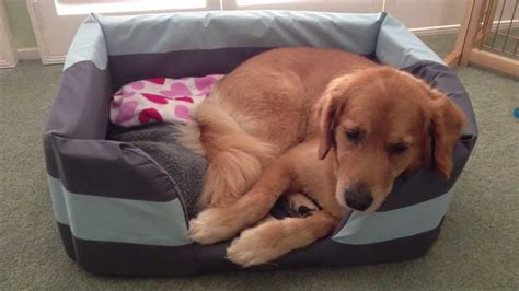 best bed for golden retriever what size bed for golden retriever puppy photo