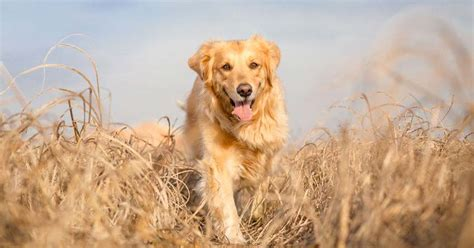 golden retriever hip problems golden retriever joint problems relieving your s with deramaxx pet meds