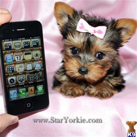 are teacup yorkies hypoallergenic teacup terrier hypoallergenic dogs breeds picture