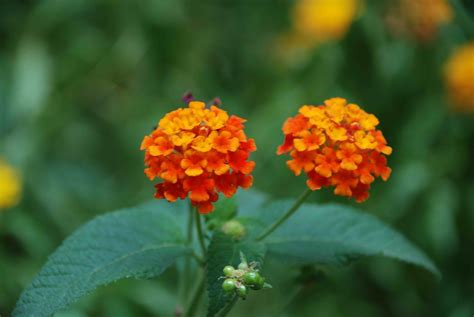 flowers india flower picture lantana flower india