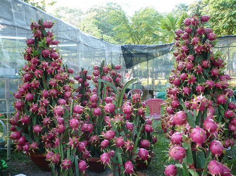 Plant Pots For Sale by Pitaya Planter Et Entretenir Ooreka