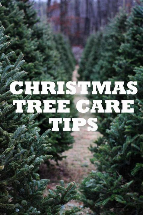7 christmas tree care tips