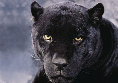 big cat all in one lovely desktop mobile wallpapers black big